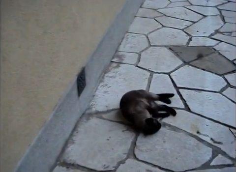猫 rollで回転する02