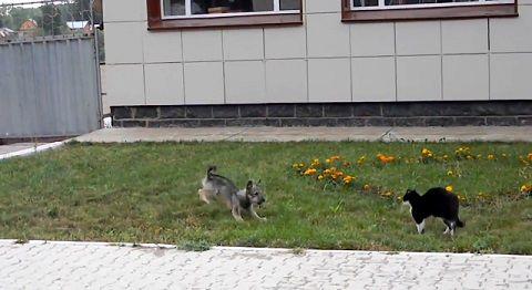 犬猫 ゆっくり近付き、喧嘩!でも犬が03