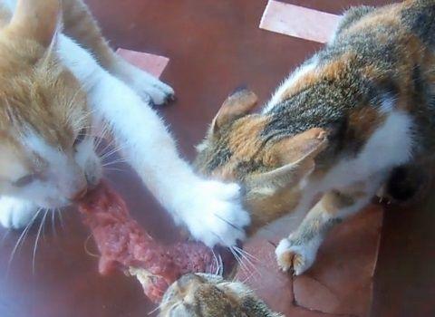 猫 肉の奪い合い漁夫の利03