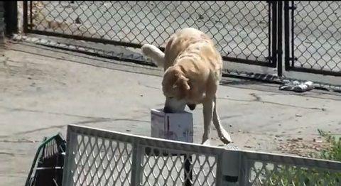 犬 郵便物は箱まで持ってくる05