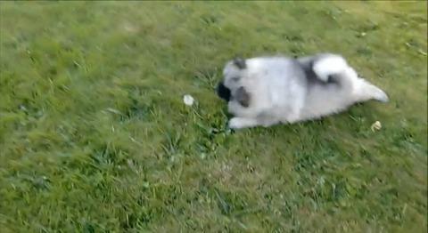 子犬 vsタンポポ03