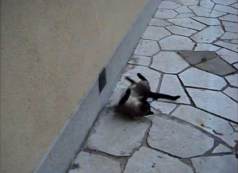 猫 rollで回転する01