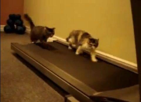 猫 ルームランナーで歩こうと03