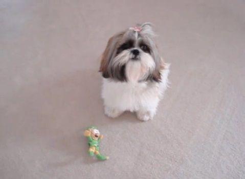 犬 人形を咥えたシーズー03