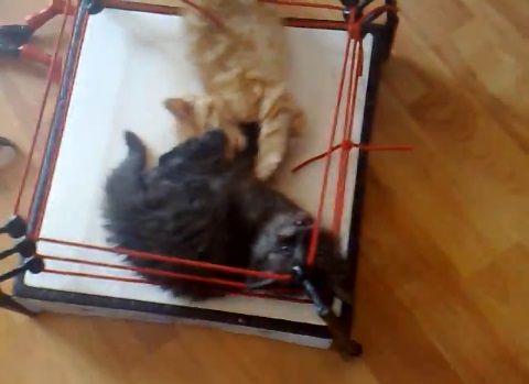 子猫 2匹でプロレス05