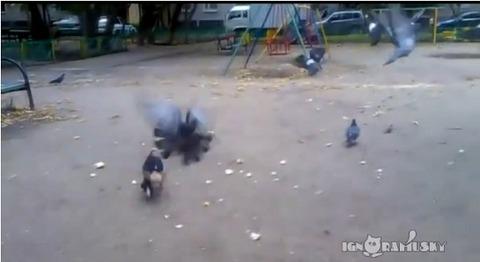 犬 鳩に突撃04