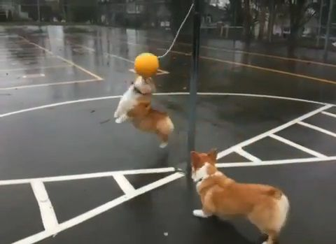 犬 つるしたボールで遊ぶコーギー04