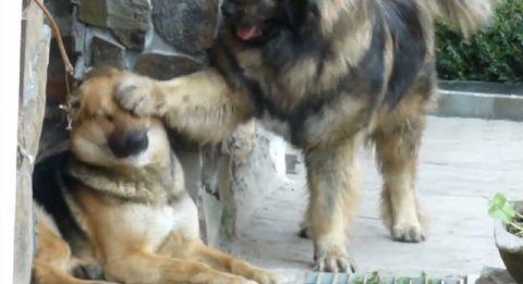 犬 コーカシアン・シェパード・ドッグ01