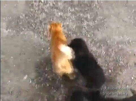 犬猫 子犬に襲われる猫00