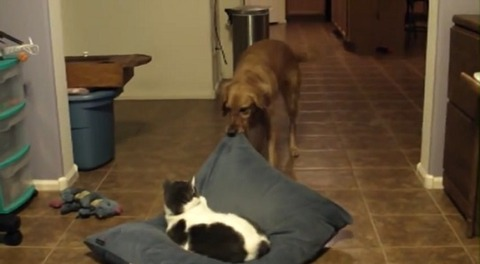 犬猫 猫のクッションを引っ張る03