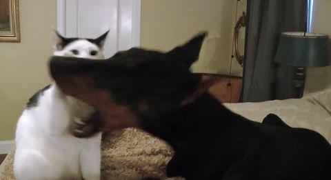 犬猫 ドーベルマンとじゃれる猫02