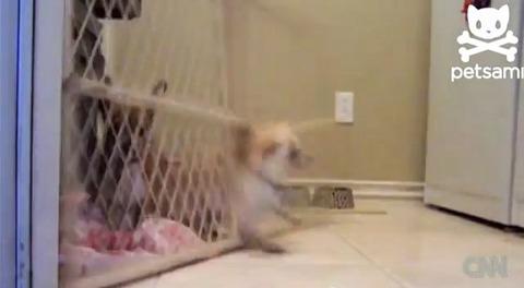 犬 ゲートに首が03