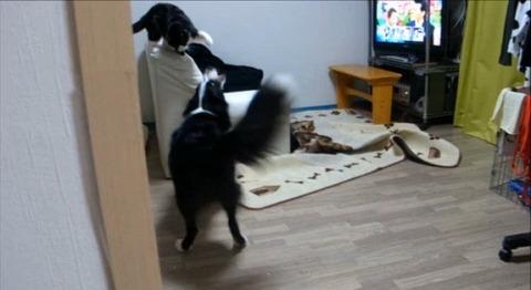 犬猫 誘い上手なボーダーコリー00