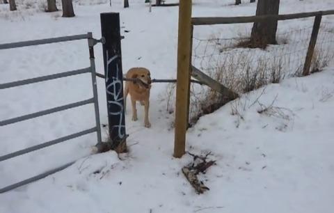犬 枝が引っかかって01