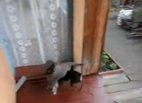 犬猫 犬が猫を背負って05