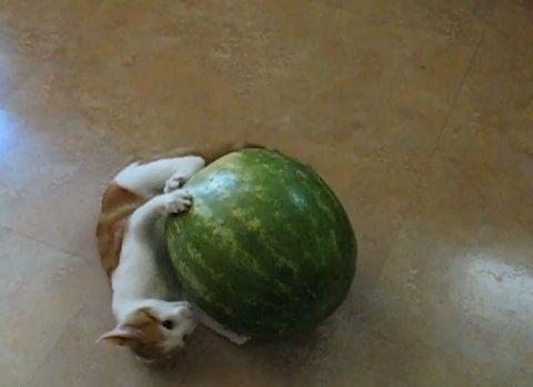 子猫 スイカと戦う子猫02