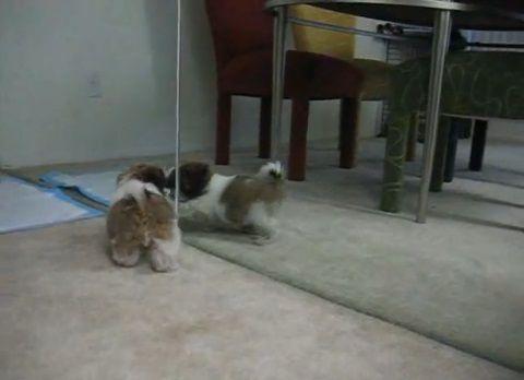 子犬 鏡の自分と喧嘩01