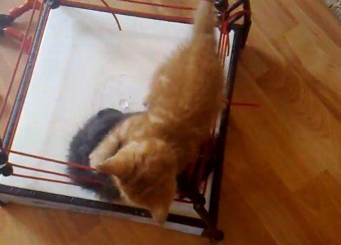 子猫 2匹でプロレス06