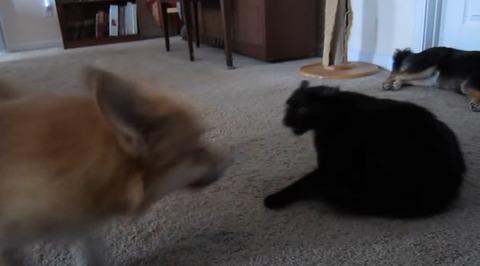 犬猫 ぶつぶつコーギー07