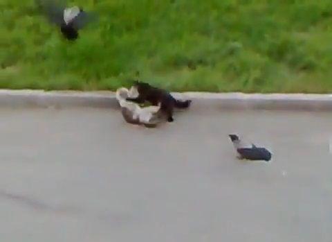 猫 vsカラス2匹と黒猫05