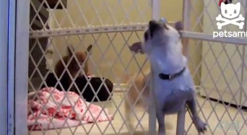 犬 ゲートに首が01