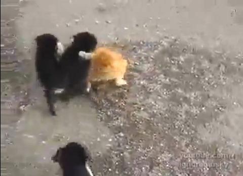 犬猫 子犬に襲われる猫01