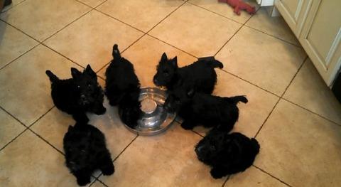 子犬 5匹がミルクを飲みながらグルグル05
