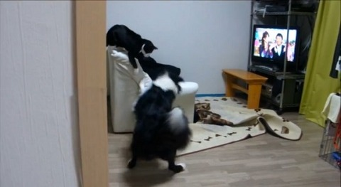 犬猫 誘い上手なボーダーコリー02