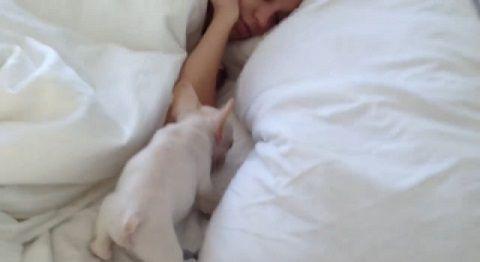 子犬 起きたらフレンチブルがいた01