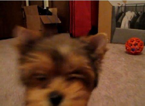 子犬 ヨーキーと遊ぶ06