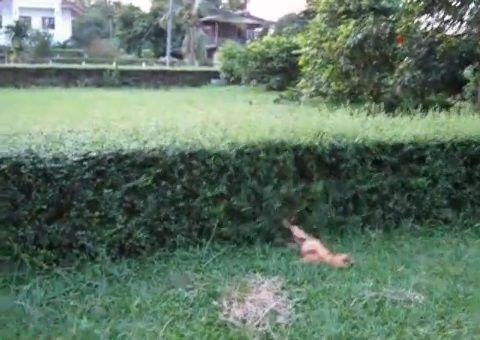 犬 飛び越える犬と越えられない犬05