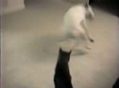 犬猫 グルグルと回って誘う犬02
