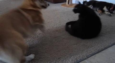 犬猫 ぶつぶつコーギー04
