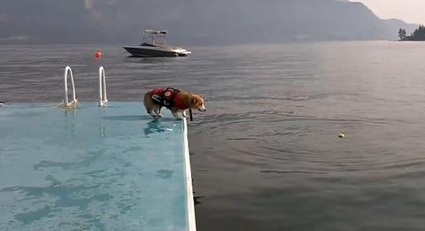 犬 コーギージャンプ04