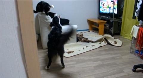 犬猫 誘い上手なボーダーコリー01