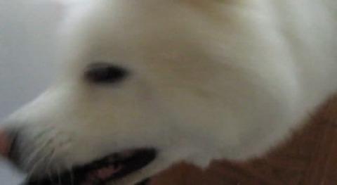 犬 秋田 大喜び04