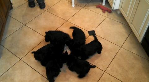 子犬 5匹がミルクを飲みながらグルグル03