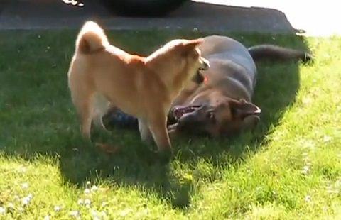 犬 シェパードと柴犬06