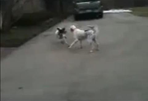 犬 なぜか倒れる01