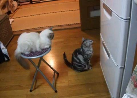 猫 冷蔵庫前で拝み続ける03