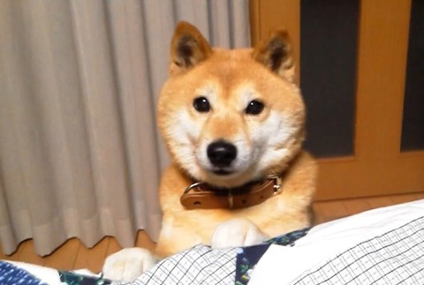 柴犬 ひょっこり04