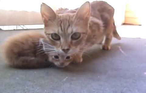 子猫 親猫が連れて行く03