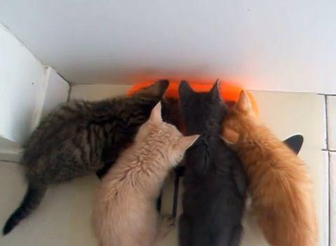 子猫 餌に群がる06