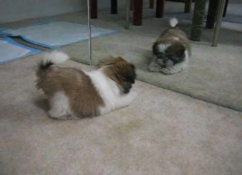 子犬 鏡の自分と喧嘩04
