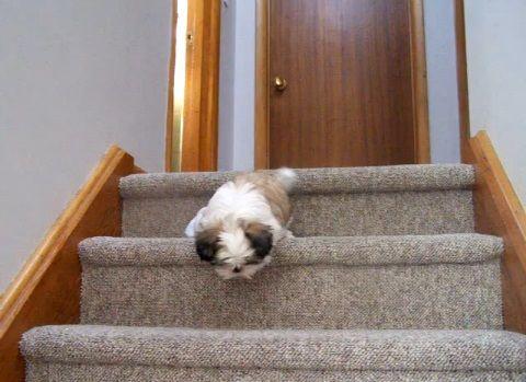 子犬 シー・ズーが階段をちょっとずつ降りる00