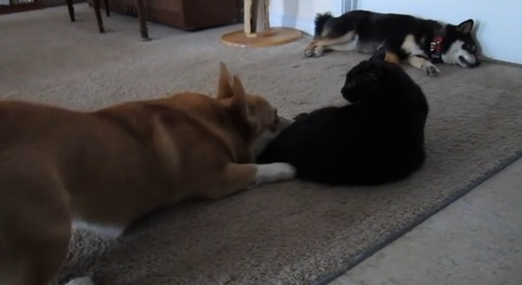 犬猫 ぶつぶつコーギー03