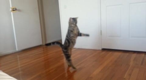 猫 直立歩き03