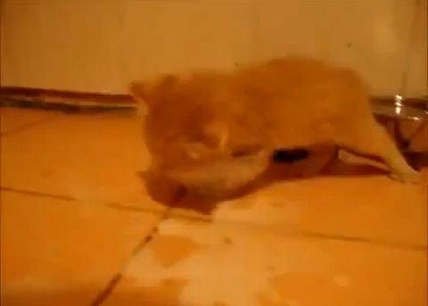 子猫 ミルクでおぼれる00