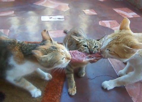 猫 肉の奪い合い漁夫の利01