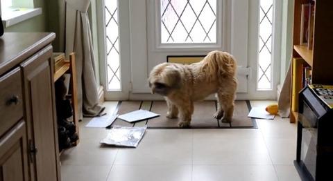 犬 郵便を散らかすシーズー05